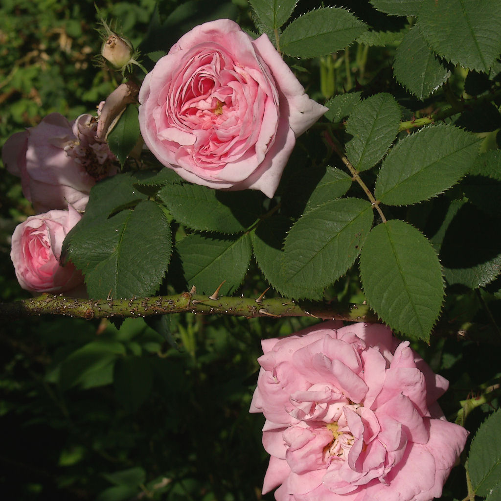 rosenfoto rosa alba 39 k nigin von d nemark 39. Black Bedroom Furniture Sets. Home Design Ideas