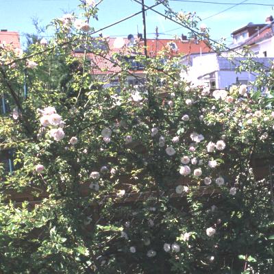 rosa arvensis splendens