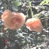 Bild von Rosa Fortunes Double Yellow