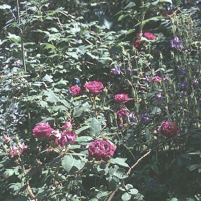 william lobb rose